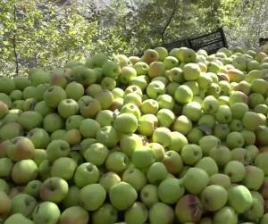 جمعآوری محصول سیب از باغات طرقبه شاندیز