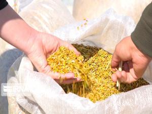 ۹۰۰ تن سبوس برنج در خرمآباد کشف شد