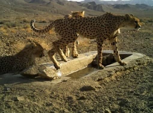 عکس/ یوزپلنگ مادر و تولههایش در پارک ملی توران