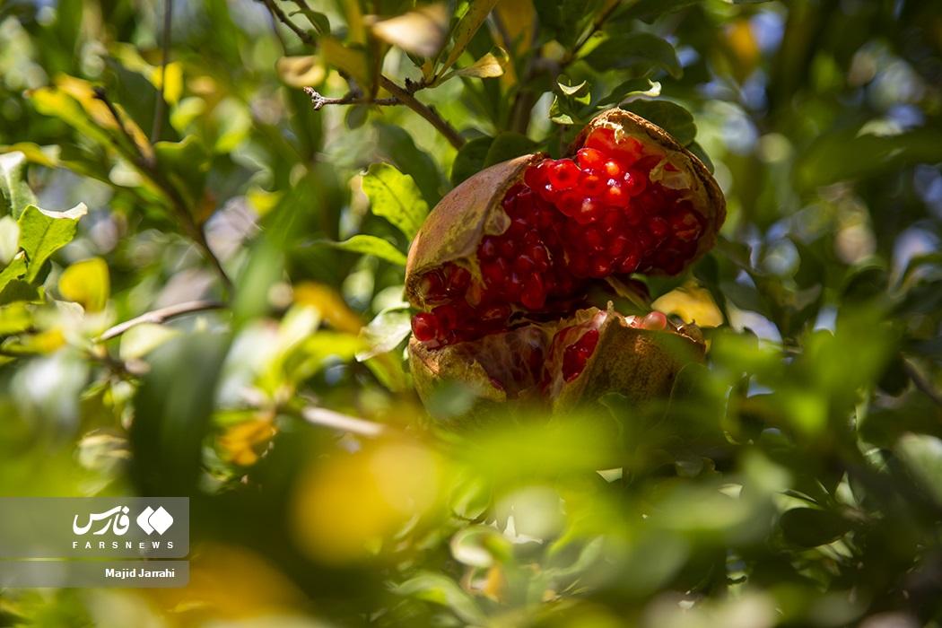 عکس/ برداشت انار از باغات «تفت»