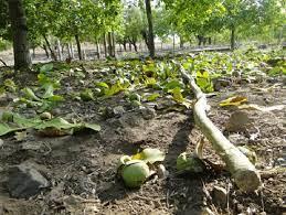 فوت ۴ نفر بر اثر سقوط از درخت گردو در همدان