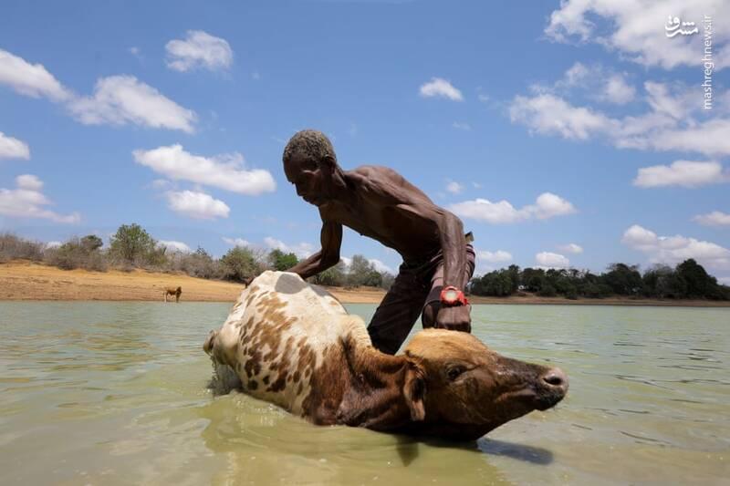 تصاویر دیدنی حیات وحش هفته؛ آب تنی کردن گاو در رودخانه