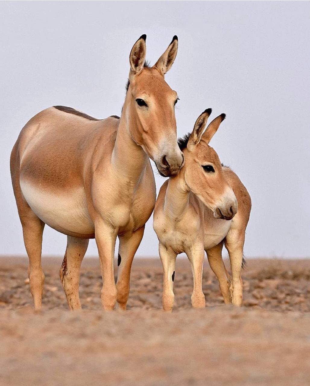 تصویری جالب از گورخر ایرانی و بچهاش