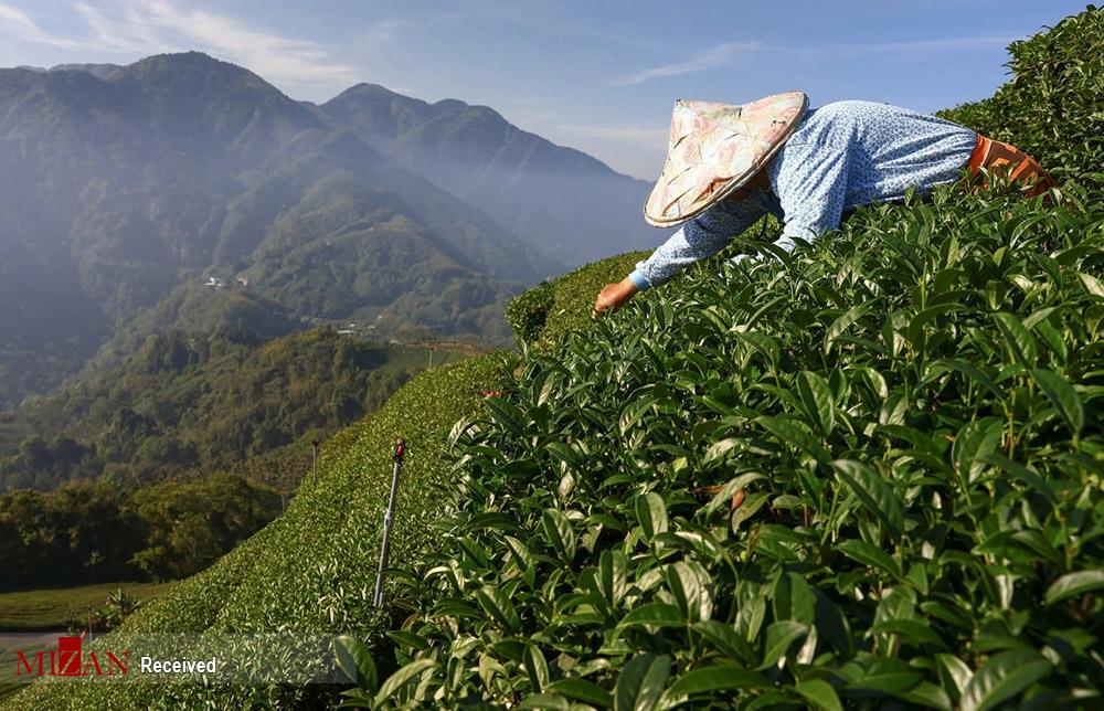 تلاش چای کاران تایوانی برای رونق تولید
