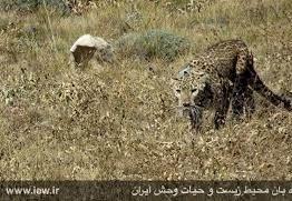 پلنگ ایرانی در جهان نمای کردکوی