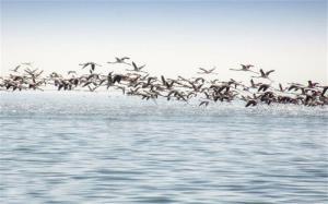 مرغابیسانان پیشقراولان پرندگان مهاجر در گیلان