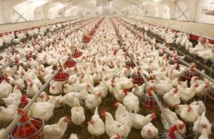 کیفیت پایین ذرتها مرغداران را شاکی کرد