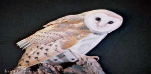 گونه کمیاب جغد سفید در بوکان مشاهده شد