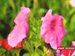 گل آرایی حرم مطهر رضوی به مناسبت میلاد