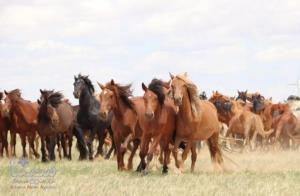 منشا ژنتیکی تمام اسب های دنیا روسیه است