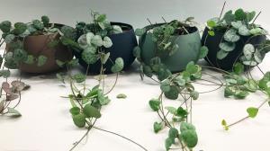 گوناگون/ آموزش کاشت گیاه سروپژیا