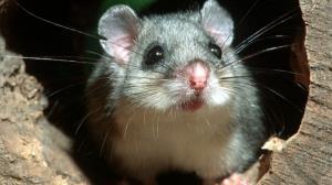گوناگون/ کشف موشهای منجمد، غذای مورد علاقه مافیا