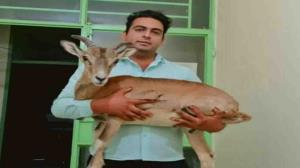 تحویل داوطلبانه یک رأس قوچ وحشی زنده به محیط زیست کهنوج