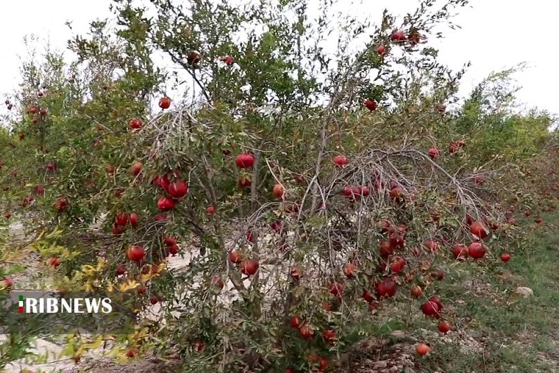 ایجاد باغ به جای کشت دیم در حاشیه گرگانرود