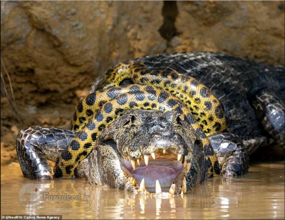 عکس/ نبرد بسیار نادر بینِ مار آناکوندا و تمساح غولپیکر