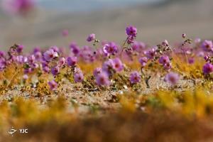 4گوشه دنیا/ رشد شکوفههای بنفش در خشکترین بیابان جهان!