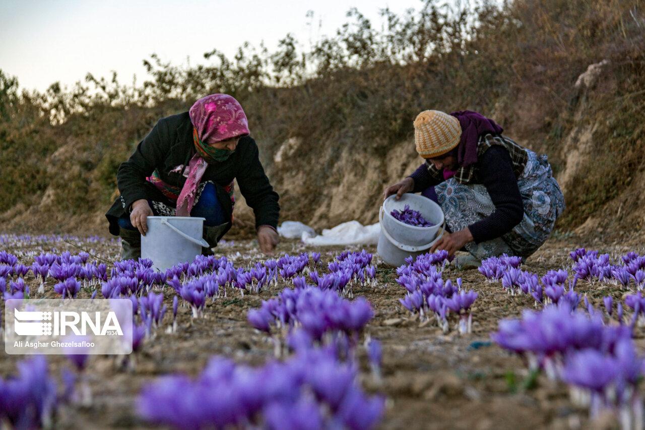 عکس/ برداشت زعفران در استان گلستان