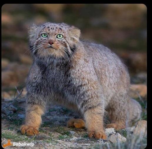 گربه پالاس در خراسان