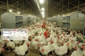 ۲۴ هزار و ۵۰۰ قطعه مرغ در شیروان معدوم شد