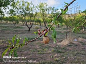 احتمال سرمازدگی محصولات باغی در اردبیل؛ مسیلها سیلابی میشوند