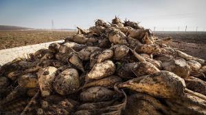 برداشت چغندرقند در ۳۰۰ هکتار از اراضی هلیلان