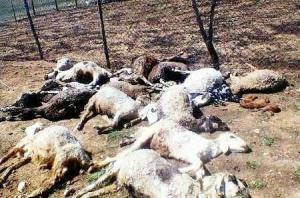 گرگهای گرسنه ۱۰ رأس گوسفند را در ییلاقات لاهرود تلف کردند