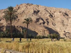 برداشت برنج در روستای ازمیغان طبس