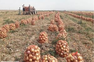 تولید بیش از ۳۰ هزار تن پیاز در شهرستان شیراز