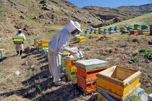 ۵۲۹ تن عسل در بروجرد تولید شد