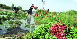 دستور ضربالعجل دادستانی برای امحای سبزیهای آبیاری شده با فاضلاب در کرمانشاه