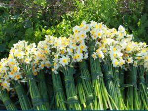 برداشت نوبرانه گل نرگس در فارس