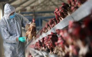 آنفولانزای فوق حاد پرندگان در کمین مرغداریهای خراسان جنوبی