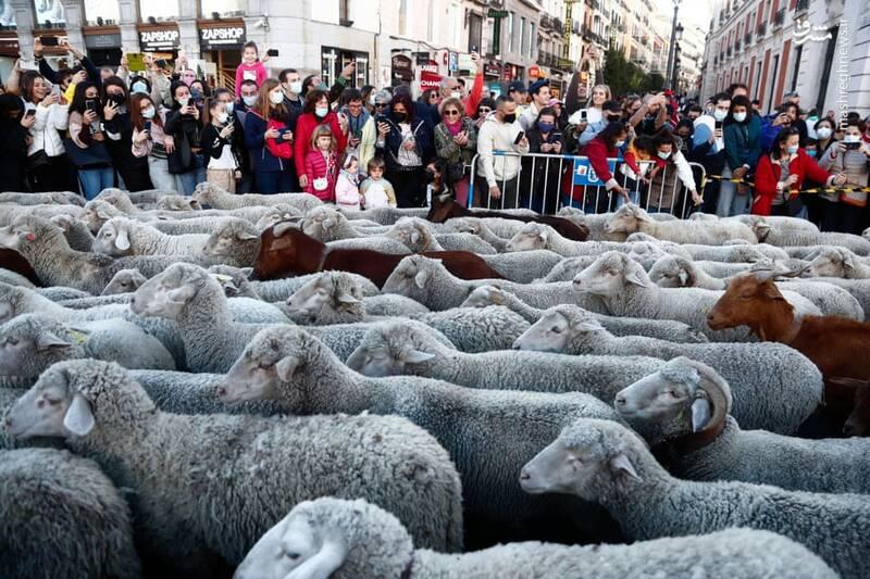 عبور گله گوسفندان از وسط شهر مادرید