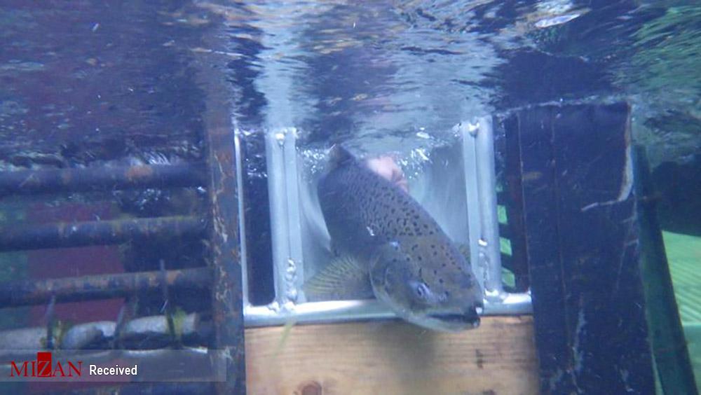 نجات ماهیهای سالمون