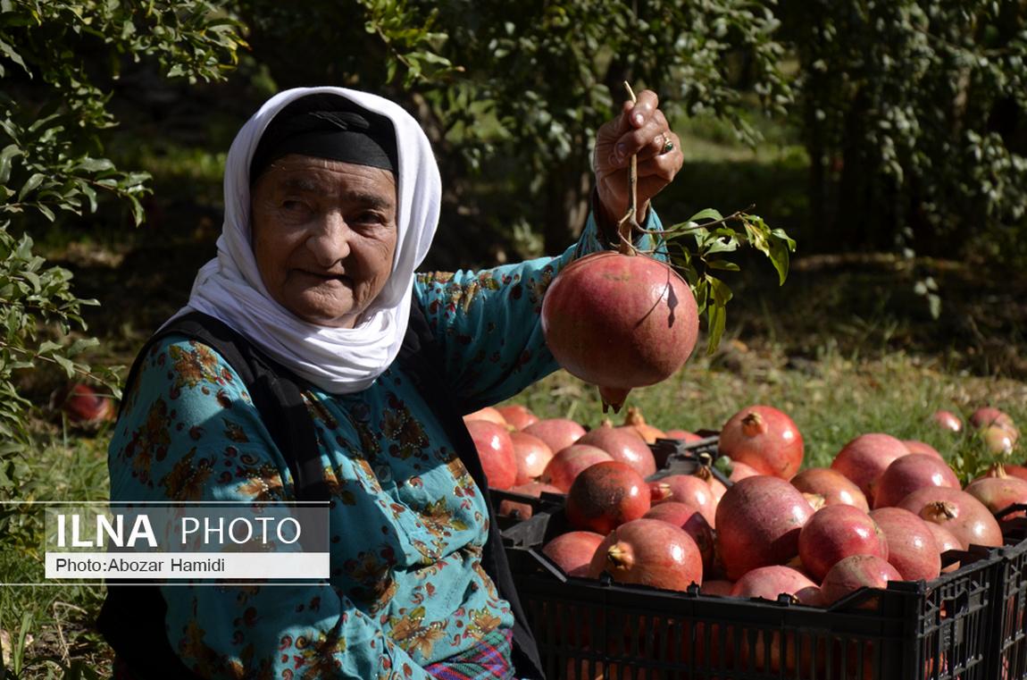 عکس/ آیین سنتی برداشت انار در تاریخی ترین روستای گیلان
