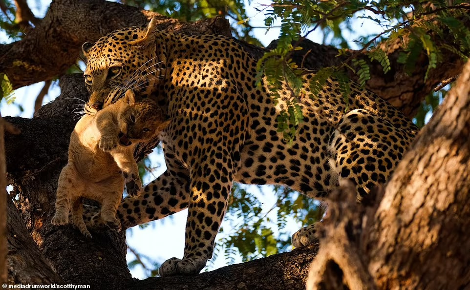 عکس/ پلنگی جسور توله شیر را از کنار مادرش می رباید و می خورد