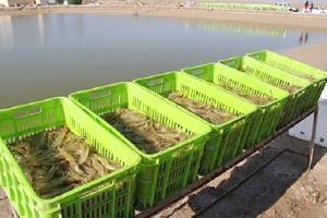 تولید ۶۰ درصد میگوی پرورشی کشور در استان بوشهر