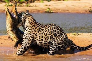 شکار تمساح توسط جگوار!