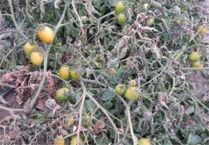 احتمال سرمازدگی محصولات کشاورزی در استان قزوین