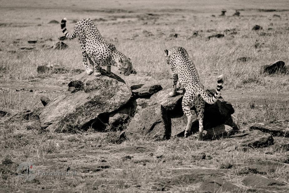 عکس/ دو چیتا در کمین برای شکار