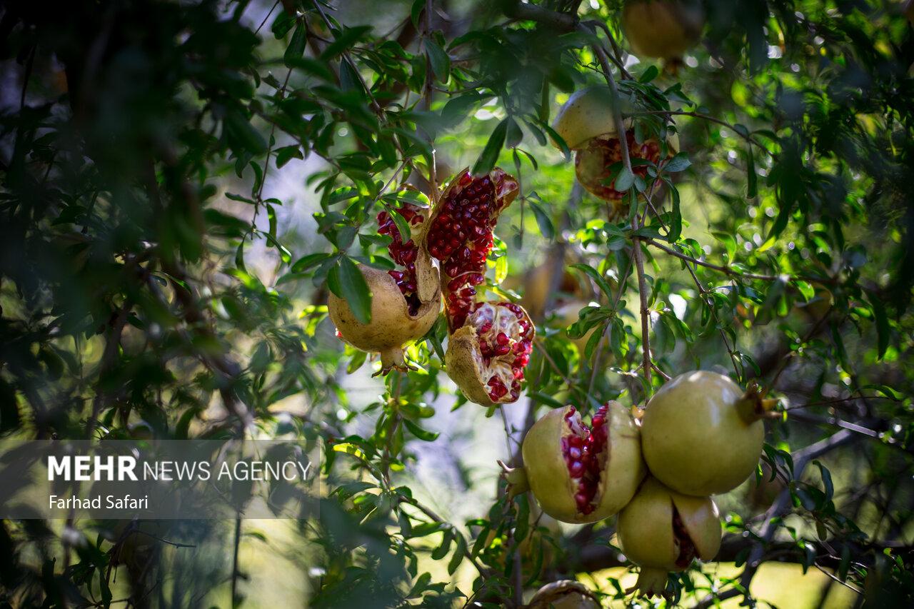 فصل «انار چین» از باغات الموت غربی