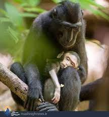 محبت دیدنی و بازی میمون مادر با فرزندش