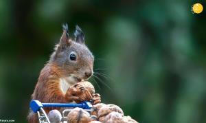 گوناگون/ تصاویری جالب از حمل سبد خرید توسط سنجاب قرمز!
