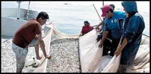 آغاز صید ساردین ماهیان در آبهای جاسک