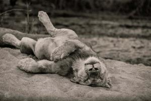 استراحت شیر بعد از شکار