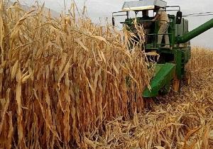 برداشت ۷۳۳ هزار تن ذرت از مزارع استان کرمانشاه
