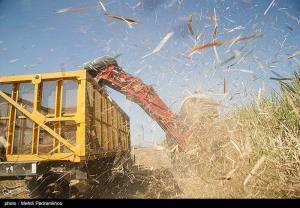 آغاز فصل برداشت نیشکر در خوزستان