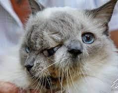 بچه گربهای با دو سر به هم چسبیده!