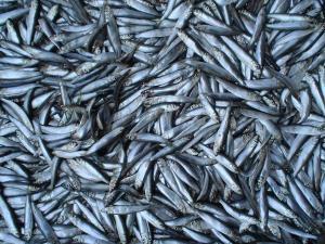 افزایش ۶ درصدی صید کیلکا در آبهای گیلان