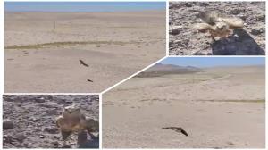 یک بهله سارگپه پا بلند، پس از تیمار در منطقه سعدی کرمان رها شد